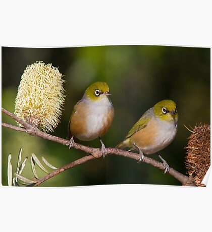 Pair of Silvereyes Poster