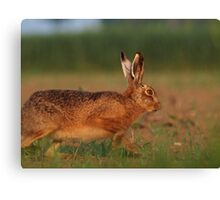 Hare today... Canvas Print