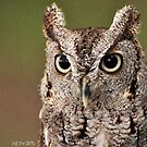 Eastern Screech-Owl (Grey Phase) by Jeff Ore