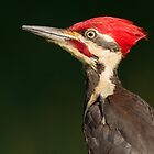 Pileated Woodpecker by William C. Gladish