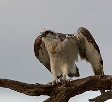 Osprey at dusk 2 by mncphotography