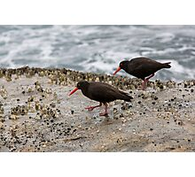 Sooty Oyster Catchers Photographic Print