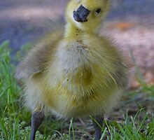 Branta Canadensis - Eye Contact With A Gosling | Beacon, New York by © Sophie W. Smith