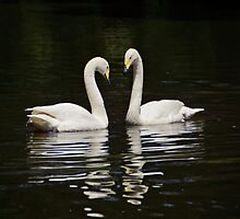 Whooper Swans by Sandy Keeton