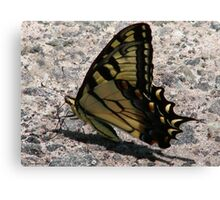 Eastern tiger swallowtail (Papilio glaucus) Canvas Print