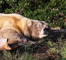 Beary Contented! by Heather Friedman