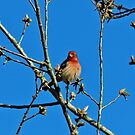 House Finch Male by Cynthia48