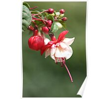 red and white fuschia Poster