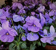 Purple Pansy-fancy by © Kira Bodensted