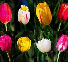 Tulips by Charles Kosina