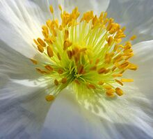 White Poppy by trish725