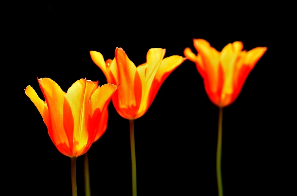 orange tulips on black by Stephen Frost