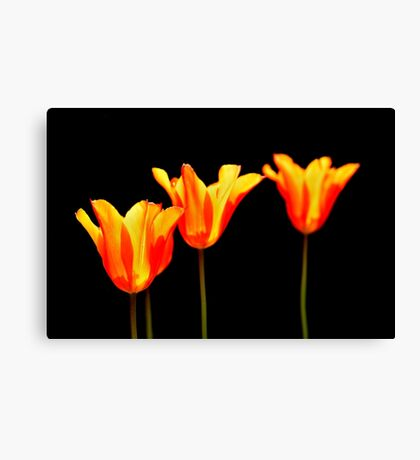 orange tulips on black Canvas Print