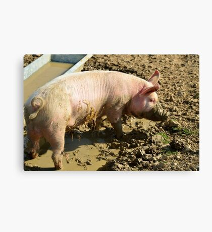 pig,caught, snout, trough Canvas Print