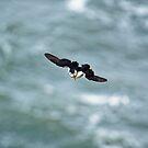 Puffin glide by Mark Baldwyn