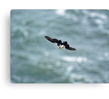 Puffin glide Canvas Print