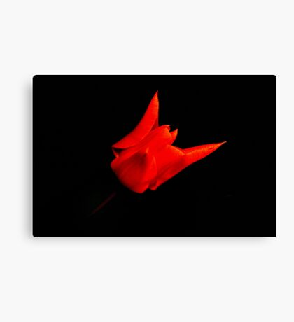 red tulip on black Canvas Print