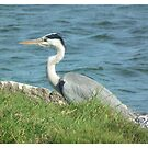 Grey Heron by Shaun Swanepoel