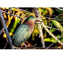 Green Heron at Green Cay Wetlands Photographic Print