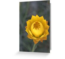 sticky everlasting daisy Greeting Card
