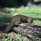 Asian Mongoose by Dennis Stewart