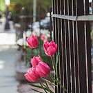 Beacon Street Tulips by Bethany Helzer