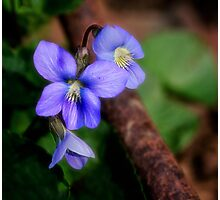Spring Violets Photographic Print