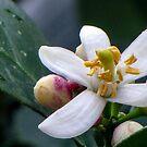 Lemon Blossom by DPalmer