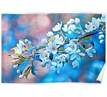 white apple flowers, bloom Poster