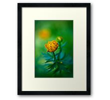 Trollius europaeus. Flowering globe flowers.  The Bush of the globe on the background of forest meadows covered with flowers. Framed Print