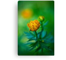Trollius europaeus. Flowering globe flowers.  The Bush of the globe on the background of forest meadows covered with flowers. Canvas Print
