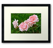 Pink roses in the garden. Framed Print