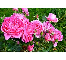 Pink rose in the garden. Photographic Print