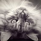 Maine Coon Cat in black and white by Elaine Hillson