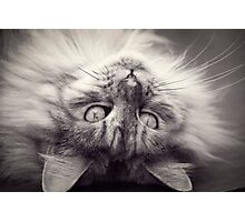 Maine Coon Cat in black and white Photographic Print