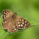 Speckled Wood Butterfly by Neil Bygrave (NATURELENS)