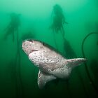 Broadnose Sevengill Shark, South Africa by Erik Schlogl