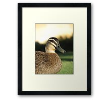 Pacific Black Duck  Framed Print