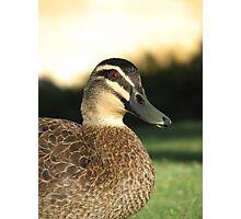 Pacific Black Duck  Photographic Print