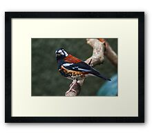 Chestnut-backed Thrush Framed Print