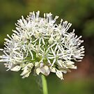 White Allium by JEZ22