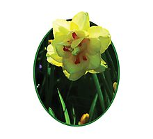 Yellow Double Daffodil Photographic Print