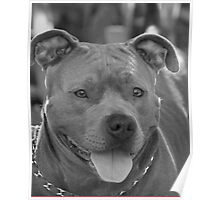 Pitbull in black and white Poster