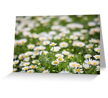 Field of daisy flowers Greeting Card