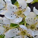 pear blossom by Stephen Frost