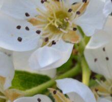 pear blossom Sticker