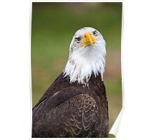 Closeup of an American Bald Eagle in Ecuador Poster
