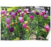 Tulips Park Gardens Poster