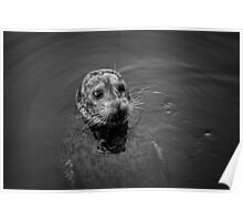 Harbor Seal I BW Poster