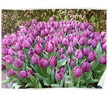My favorite colour : purple tulips at Keukenhof NL Poster